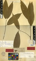 Holotype of Cinnamomum xanthoneurum Blume [family LAURACEAE]