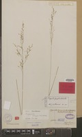 Type of Eragrostis luzoniensis Steud. [family GRAMINEAE]