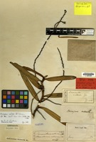 Holotype of Cleisostoma callosum Blume [family ORCHIDACEAE]