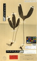 Isotype of Polypodium lepidosorum C.Chr. [family PTERIDOPHYTA]