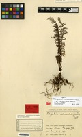 Type of Polypodium subsecundo-dissectum Zoll. var. novoguineense Rosenst. [family PTERIDOPHYTA]