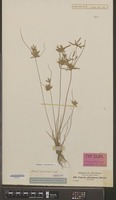 Isotype of Cyperus abyssinicus Hochstetter ex A. Richard [family ANNONACEAE]