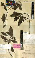 Lectotype of Psychotria leucocarpa Blume [family RUBIACEAE]