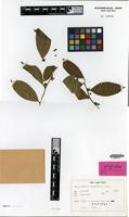 Isotype of Casearia clausseniana Miq. [family FLACOURTIACEAE]