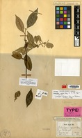 Isotype of Calophyllum gracile Miq. [family GUTTIFERAE]