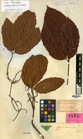 Holotype of Allophylus sumatranus Blume [family SAPINDACEAE]