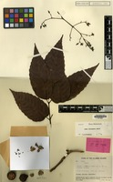 Isotype of Leea suaveolens Merr. & L.M.Perry [family VITACEAE]