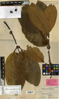 Isotype of Litsea catubigensis Kosterm. [family LAURACEAE]
