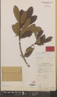 Isotype of Melicope ridsdaleae T.G.Hartley [family RUTACEAE]