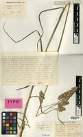 Type of Dactylis glomerata L. var. glabra Soest [family GRAMINEAE]