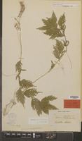 Type of Lycopodium stipulatum Blume [family PTERIDOPHYTA]