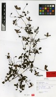 Holotype of Clematis cv. 'lisboa' [family RANUNCULACEAE]