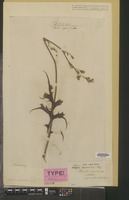 Type of Prenanthes squarrosa Thunb. [family COMPOSITAE]