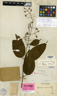 Holotype of Dissochaeta ligulata Blume [family MELASTOMATACEAE]