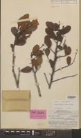 Isotype of Pygeum retusum Merr. & L.M.Perry [family ROSACEAE]