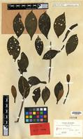 Isotype of Hillia boliviana Britton [family RUBIACEAE]
