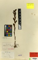 Isotype of Habenaria perrottetiana A.Rich. [family ORCHIDACEAE]