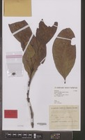 Isotype of Coffea excelsa A.Chev. [family RUBIACEAE]