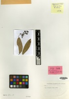 Isotype of Cinnamomum kingdonwardii Kosterm. [family LAURACEAE]