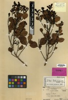 Holotype of Litsea lithocarpoides Kosterm. [family LAURACEAE]