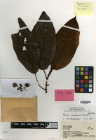 Isotype of Ficus scaposa Corner [family MORACEAE]