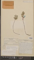 Holotype of Cheilanthes rufopunctata Rosenst. [family PTERIDOPHYTA]