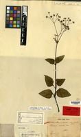 Lectotype of Lavenia erecta Blume [family COMPOSITAE]