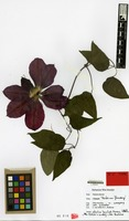 Holotype of Clematis cv. 'hoshi-no-flamingo' [family RANUNCULACEAE]