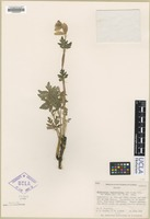 Isotype of Mathiasella bupleuroides Constance and C. L. Hitchc. [family APIACEAE]