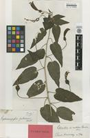 Isotype of Siphocampylus pubescens Benth. [family LOBELIACEAE]