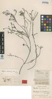 Isotype of Phylica empetroides Eckl. & Zeyh. [family RHAMNACEAE]