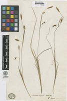 Isolectotype of Carex laxa Wahlenb. [family CYPERACEAE]