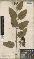 Lectotype of Nyctanthes scandens Retz. [family OLEACEAE]