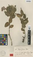 Holotype of Asclepias fimbriata Weim. [family ASCLEPIADACEAE]