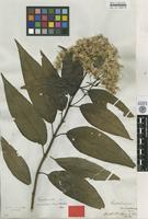 Type of Eupatorium nubigenum Benth. [family ASTERACEAE]