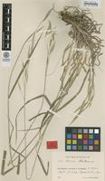 Syntype of Bromus atlanticus H.Lindb. [family POACEAE]
