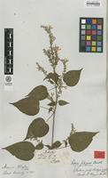 Isotype of Salvia filipes Benth. [family LAMIACEAE]