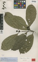 Type of Rudgea sprucei Standl. [family RUBIACEAE]