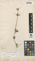 Isotype of Justicia triflora Forssk. [family ACANTHACEAE]