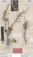 Type of Acacia cygnorum Meisn. var. minutifolia Meisn. [family FABACEAE]