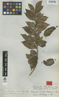 Isotype of Flacourtia benthamii Tul. [family FLACOURTIACEAE]
