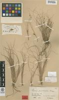 Holotype of Carex pulchella Berggr. [family CYPERACEAE]