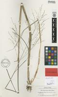 Isotype of Panicum lacustre Hitchc. & Ekman in Hitchc. [family POACEAE]