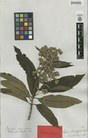 Isotype of Lippia sphacelifolia Benth. [family VERBENACEAE]