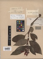 Isotype of Corytholoma glaziovianum Fritsch [family GESNERIACEAE]
