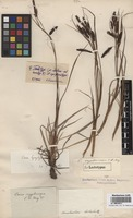 Isolectotype of Carex cryptocarpa C.A. Mey. [family CYPERACEAE]
