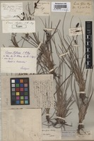 Holotype of Carex stylosa C.A. Mey. [family CYPERACEAE]