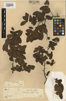 Isolectotype of Erythroxylum ovalifolium Peyr. [family ERYTHROXYLACEAE]