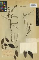 Isotype of Dalbergia domingensis Turp. ex Pers. [family FABACEAE]