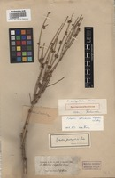 Original material of Ephedra pachyclada Boiss. [family EPHEDRACEAE]